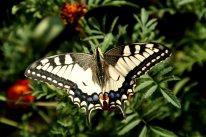 Бабочка с именем бога - Махаон