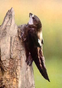 Иглохвостый стриж (Hirundapus caudacutus)